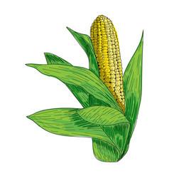 corn hand drawn ink sketch fresh vector image