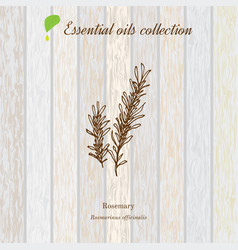 rosemary essential oil label aromatic plant vector image