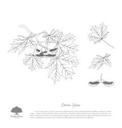 the contour image a maple branch vector image