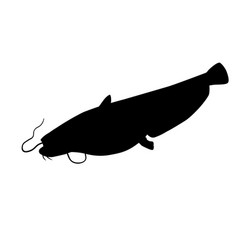 wels catfish vector image