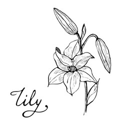 Lily flower botany vector