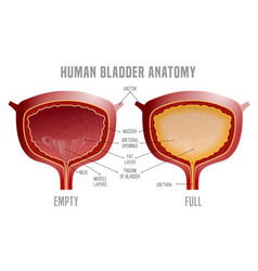 Bladder anatomy scheme vector