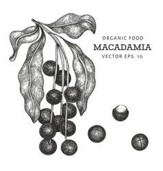 Hand drawn macadamia branch and kernels organic vector