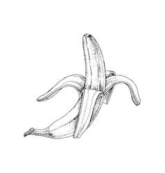 half peeled hand drawn banana vector image