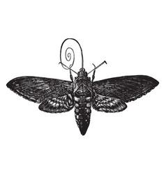 Hawk moth vintage vector