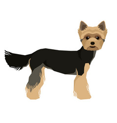 Yorkshire terrier isolated vector