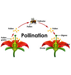 Diagram showing pollination with flower and bee vector