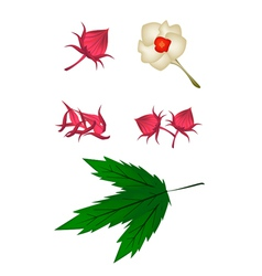 Parts of Hibiscus Sabdariffa or Roselle Plant vector image