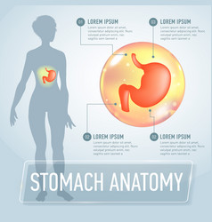 Stomach infographics banner vector
