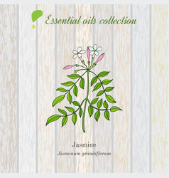 Jasmine essential oil label aromatic plant vector