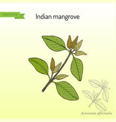 Indian mangrove avicennia officinalis medicinal vector