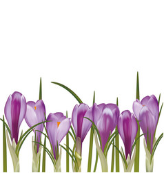 Set of spring purple crocuses vector