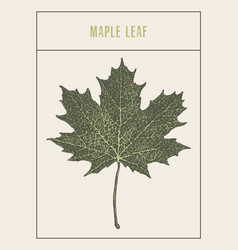 high detailed maple leaf drawn sketch vector image vector image