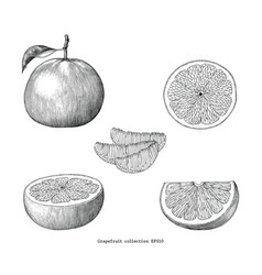grapefruit collection hand draw vintage clip art vector image