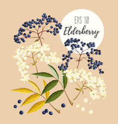 Set of elder flowers and berries vector