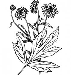 plant rudbeckia vector image vector image