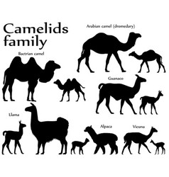 Camelids family silhouette vector