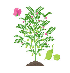 Chickpea plant isolated on vector