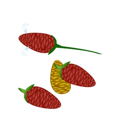 Fresh Zingiber Zerumbet Corn on White Background vector