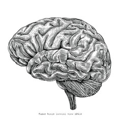 human brain lateral view hand drawing vintage vector image