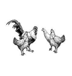 Hens and cock vector