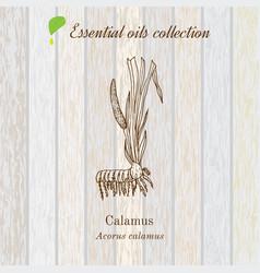 calamus essential oil label aromatic plant vector image