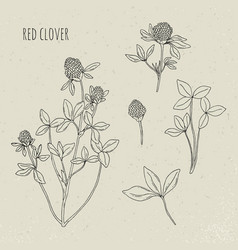 red clover medical botanical isolated vector image vector image