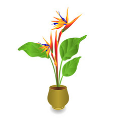 beautiful strelitzia reginae tropical flowers vector image