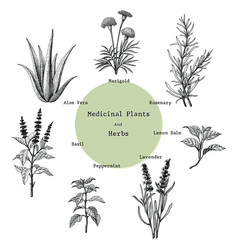 Medicinal plants and herbs hand drawing vintage vector