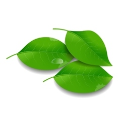 Green Leaves with Water Drop vector image