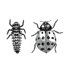 multicolored asian lady beetlelarva and adult vector image