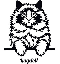 Ragdoll cat - cat breed cat breed head isolated vector
