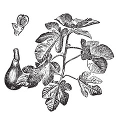Fig branch and fruit vintage vector