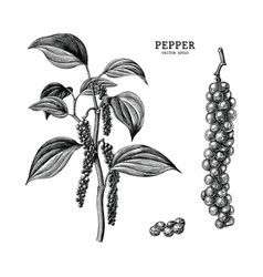 pepper hand draw vintage clip art isolated on vector image