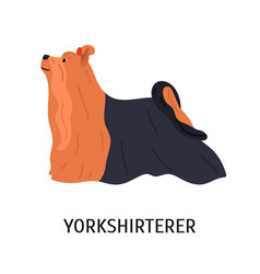 yorkshire terrier cute small lap dog isolated on vector image