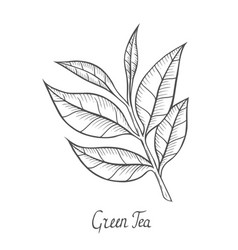 green tea plant leaf vector image