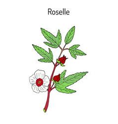 roselle hibiscus sabdariffa or carcade vector image