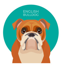 English bulldog medium-sized breed british vector