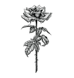 roses hand drawing vintage engraving on white vector image