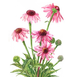 Echinacea watercolor botanical on white vector