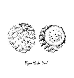 Hand drawn of copao cactus fruits on white backgro vector