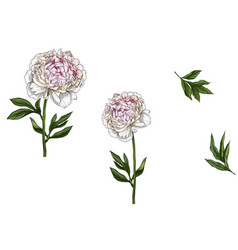 Set with gently pink peony flowers leaves vector