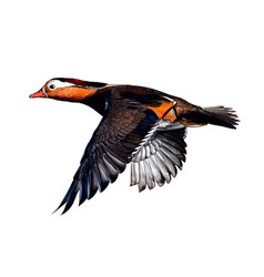 mandarin duck from a splash watercolor colored vector image