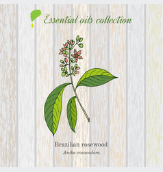 Rosewood essential oil label aromatic plant vector
