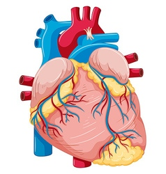 Human heart with fat and blood vector