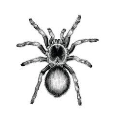tarantula spider hand drawing vintage engraving vector image