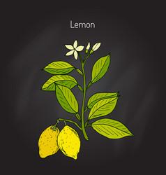Hand drawn lemon branch vector
