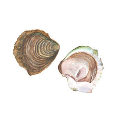 watercolor oyster isolated on white background vector image