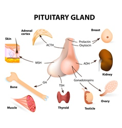 pituitary hormone vector image