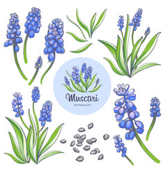 muscari - spring flowers vector image